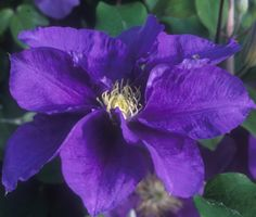 """Clematis """"Kingfisher' TM Evipo037 is a new Evison/Poulsen variety that is exceptionally free-flowering with huge 6-7 inch flowers in late spring through early summer. The intense deep-blue flowers are breathtaking and are nicely contrasted with creamy yellow anthers."""