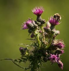 hutchyp posted a photo:  Bees stripping thistles of their pollen at Titchfield Haven in Hampshire  http://ift.tt/298jo8E - http://ift.tt/g8FRpY