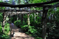 Wisteria on the pergola walk at North Hill Garden, Readsboro, VT