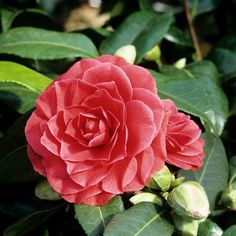 Camélia  Camellia japonica  'Manuroa Road'