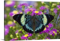Darrell Gulin Premium Thick-Wrap Canvas Wall Art Print entitled The Procilla Beauty Butterfly, Panacea procilla, None
