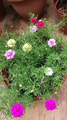 Portulaca Flowers, Portulaca Grandiflora, Planting Flowers, All Flowers, Exotic Flowers, Beautiful Flowers, Cypress Vine, Rain Lily, Garden Shrubs