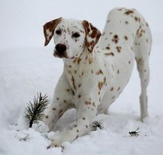 Brown spotted Dalmation - also called liver spot Dalmation.