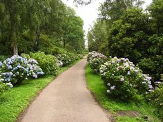 Findmypast has introduced their British and Irish Roots Collection. It will help North American family historians trace relatives who immigrated. Hortensia Hydrangea, Hydrangea Bush, Hydrangea Care, Hydrangea Flower, Growing Hydrangea, Hydrangeas, Roman Garden, Farm Landscaping, Hampton Garden