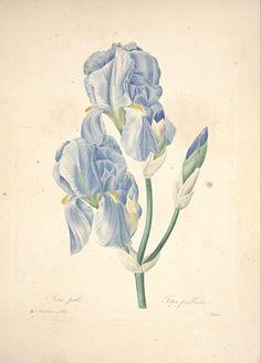 gravures de fleurs par Redoute - Gravures de fleurs par Redoute 126 iris pale…