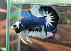 Blue and white fancy halfmoon plakat