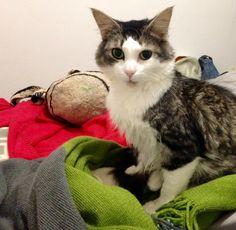 Lola Cat | Pawshake Caulfield north