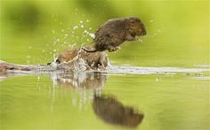 http://i.telegraph.co.uk/multimedia/archive/01877/front-jump-vole_1877111i.jpg