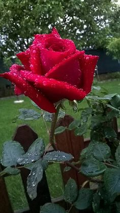 Rose with water droplets 🌹 Beautiful Flowers Pictures, Beautiful Flowers Wallpapers, Beautiful Rose Flowers, All Flowers, Flower Pictures, Exotic Flowers, Amazing Flowers, Beautiful Gardens, Rosa Rose