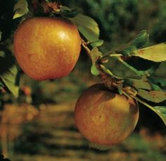 Ashmead's Kernal is considered one of the finest flavored of all apples, this yellow, russetted, English dessert variety has a unique nut-like flavor.