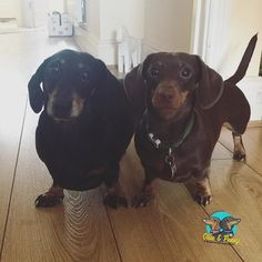 What are you two cheeky dogs up to?  #guiltyface #dogs #ollieandpenny