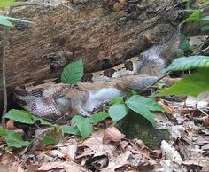 Timber Rattler Eating a Gray Squirrel  John Vanek took this photo of a Timber Rattlesnake (Crotalus horridus) eating a squirrel in Indiana, where he was tracking these snakes for Purdue University. This was one of the largest males, and it took him over 45 minutes to eat the squirrel. Squirrels are carriers for diseases like Lyme disease and Rocky Mountain spotted fever which are then transmitted to humans by ticks. Timber Rattlesnakes are important predators in our ecosystems that help… Rocky Mountain Spotted Fever, Pictures Of The Week, Ticks, Predator, Reptiles, Animal Pictures, Purdue University, Lyme Disease, Squirrels