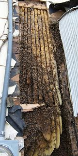 Honeybee Home Invasions (not all of these are actually bee colonies hidden behind walls and ceilings in homes; at least one photo is actually a colony inside a bee museum)