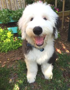 Cute Dogs Images, Cute Dog Pictures, Cute Little Puppies, Cute Puppies, Happy Animals, Cute Animals, Old English Sheepdog Puppy, Savage, Dog Mixes