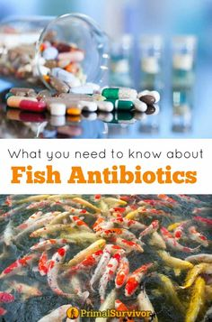 What You Need to Know about Fish Antibiotics for Humans. There is a lot of controversy and confusion in the disaster prepping community on the topic of fish antibiotics for human use. If you are thinking of stockpiling fish antibiotics in your Just-In-Cas Survival Quotes, Survival Food, Survival Prepping, Survival Skills, Survival Items, Survival Essentials, Survival Equipment, Medical Equipment, Camping Essentials