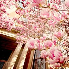 magnolia flowers (I love that the flowers blossom before the leaves) My Flower, Pretty In Pink, Beautiful Flowers, Beautiful Scenery, Simply Beautiful, Japanese Magnolia, Wow Photo, Magnolia Trees, Sweet Magnolia