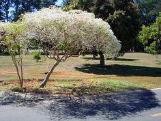Neve da Montanha (Euphorbia leucocephala)