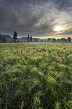 a barley field at dawn near Gubbio, Umbria, Italy
