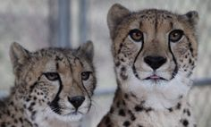 Amazing-- and in central CA!!  Big Cats and Wildlife Habitat Conservation Program by Cat Haven
