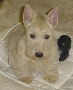 Sweet baby scottie =)