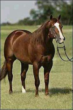 Stallion carol AQHA horse