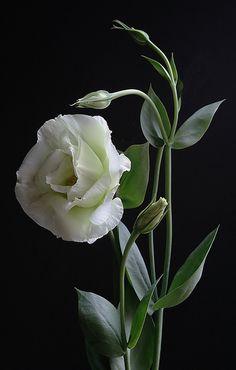 Minha flor preferida