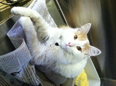 Available for adoption - Chester is a male cat, Domestic Long Hair, located at Santa Paula Animal Rescue Center in Santa Paula, CA.