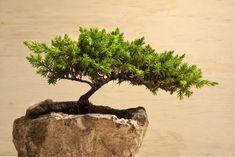13 Types of Bonsai Trees (by Style and Shape Plus Pictures) Pine Bonsai, Bonsai Plants, Bonsai Garden, Bonsai Trees, Bonsai Tree Types, Replant, Fir Tree, Seeds, Home And Garden