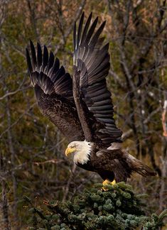 A Bald Eagle prepares to lift off in Tracy Arm, Alaska, by Jay Dickman / Firstlight Workshops