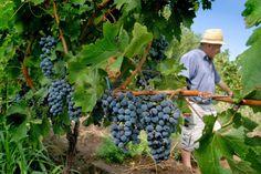 compra-vino.com Blog: El trabajo de un viticultor