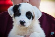 DipStick is an adoptable Australian Shepherd Dog in Lumberton, NC. DipStick is in the care of the Robeson County Humane Societys Friends for Life Animal Shelter - a no-kill facility. Please contact Mi...