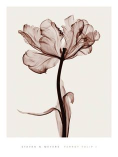Steven N. Meyers parrot tulip