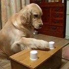 Golden retriever genius plays his favorite game...