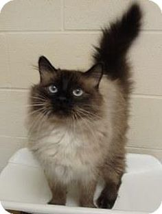 Siamese Cat for adoption in Apple Valley, California - Bengy #160916