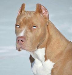 Pitbull Terrier - Pitbull Terrier ice blue eyes, what a beautiful animal! Pitbull Terrier, Perro Fox Terrier, Cairn Terriers, Scottish Terriers, Boston Terriers, Dogs Pitbull, Pitbull Red Nose, Baby Pitbulls, Blue Pitbull