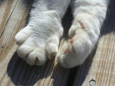 There is something about this cat's stubby little paws that I just cannot resist. Big Cats, Cats And Kittens, Cat Empire, Cat Comics, Cat Paws, Cat Memes, Comic Books, Kitty, Paw Prints