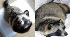 This is Tanu. At first glance, he might seem like a raccoon, but his lack of trash-can raiding skills reveals he's actually a raccoon dog, or what the Japa