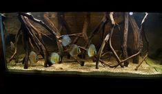 A monster journal.My wild discus biotope! Aquascaping, Aquarium Aquascape, Aquarium Terrarium, Diy Aquarium, Nature Aquarium, Aquarium Fish Tank, Fish Tanks, Tropical Freshwater Fish, Freshwater Aquarium