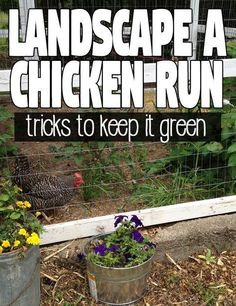 Friendly Plants to Plant in your Chicken Run for Shade and Forage - Hawk Hi Coop Friendly Plants to Plant in your Chicken Run for Shade and Forage - Hawk Hi. Coop Friendly Plants to Plant in your Chicken Run for Shade and Forage - Hawk Hi. Chicken Coop Run, Portable Chicken Coop, Chicken Garden, Backyard Chicken Coops, Building A Chicken Coop, Chicken Runs, Chickens Backyard, City Chicken, Chicken Coup