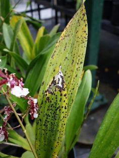 Orchid Plant Diseases - Tips On Treating Orchid Diseases in Flowers, Ornamental Gardens Orchid Diseases, Plant Diseases, Organic Gardening, Gardening Tips, Vegetable Gardening, Air Plants, Indoor Plants, Water Culture Orchids, Orchid Planters