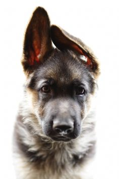 German Shepherd pup - I love the way German Shepherd puppies have such big ears and paws that the rest of them has to grow into :D)