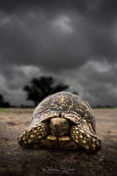 Leopard Tortoise, Botswana