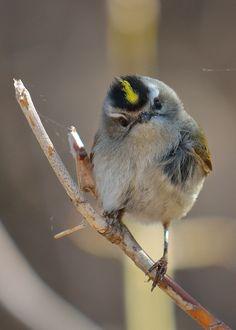golden-crowned kinglet | bird + wildlife photography