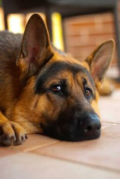 Lovely GSD.They are just so truthful in their eyes.