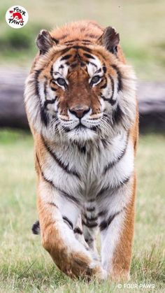 Cute Cats And Kittens, Big Cats, Happy Animals, Cute Animals, Wild Animal Rescue, Wild Animal Sanctuary, Cute Tigers, Interesting Animals, Background Images Wallpapers