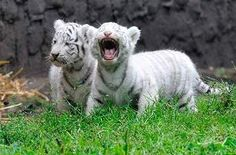 tigre branco - MySearch