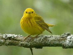 Yellow warbler. Or just warbler and you figure out what color it is.