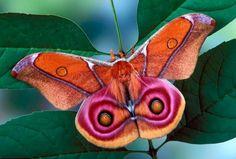 Via Twitter /@ EcoInteractive: PHOTO: The Suraka Silk Moth ...