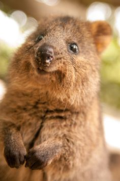 """<a href=""""http://www.viralnova.com/quokka-selfies/"""" target=""""_blank"""">Quokka</a>: also known as the HAPPIEST ANIMAL EVER."""