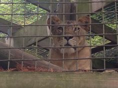 Lion at our zoo